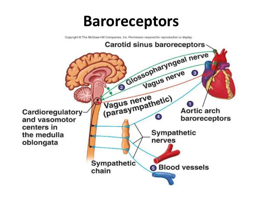 baroreceptores-y-centro-vasomotor