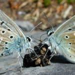 Mariposa azul común detritívora