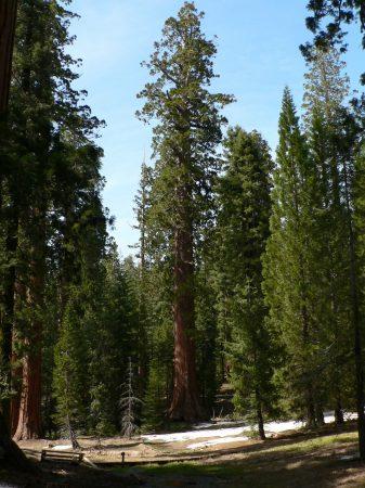 Sequoiadendron giganteum (secuoya gigante)