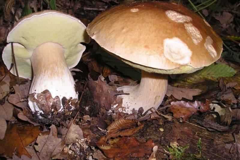 Boletus edulis (esporocampo)