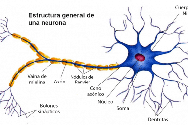 Estructura general de una neurona