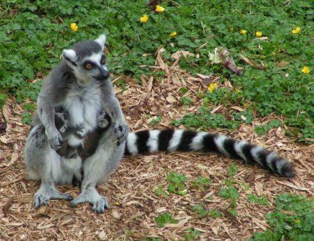 Hembra de Lemur catta con dos crias