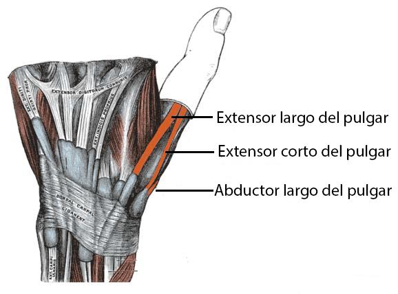 Tendones en la tabaquera anatómica
