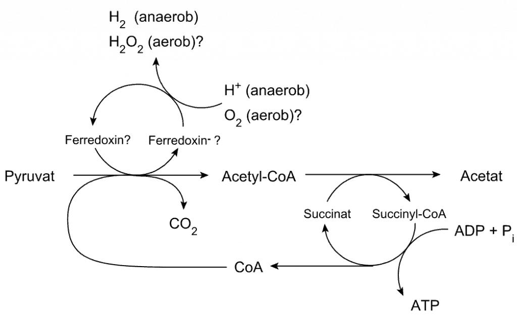 Producción de ATP en un hidrogenosoma