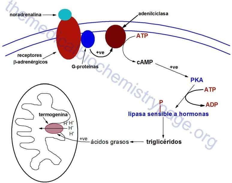 Acción de la termogenina