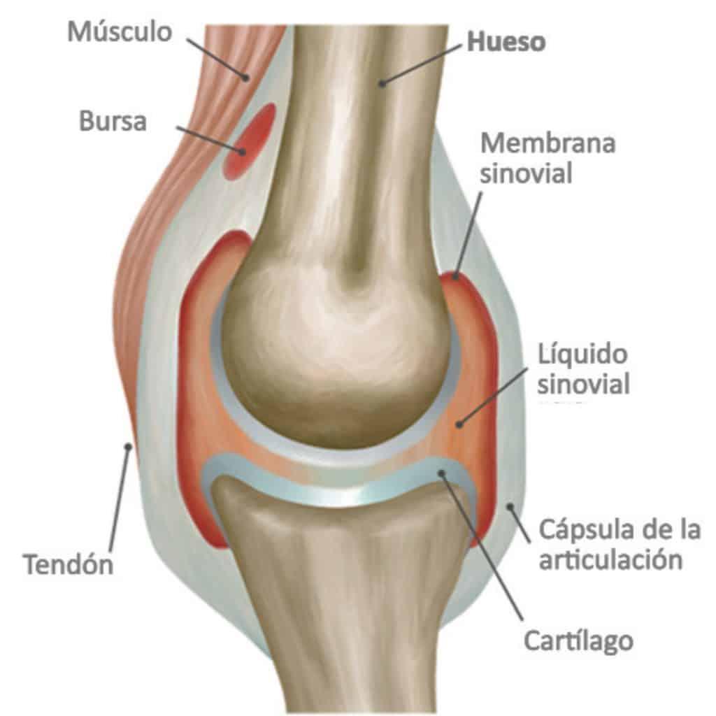 Articulación sinovial o diartrosis