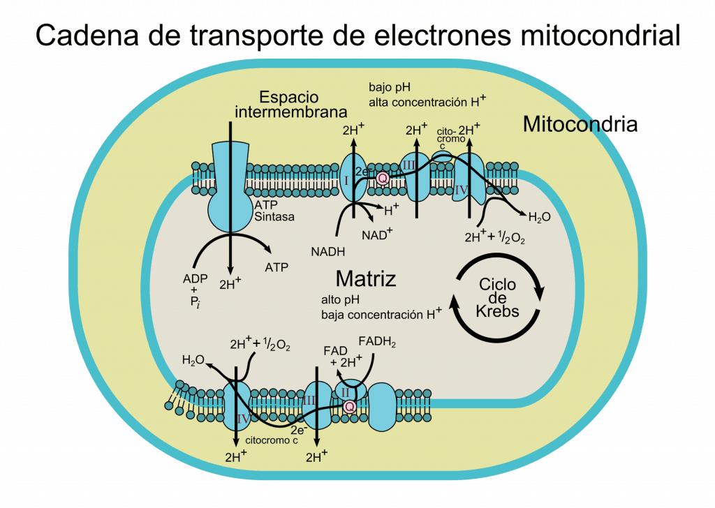 Esquema de la cadena de transporte de electrones