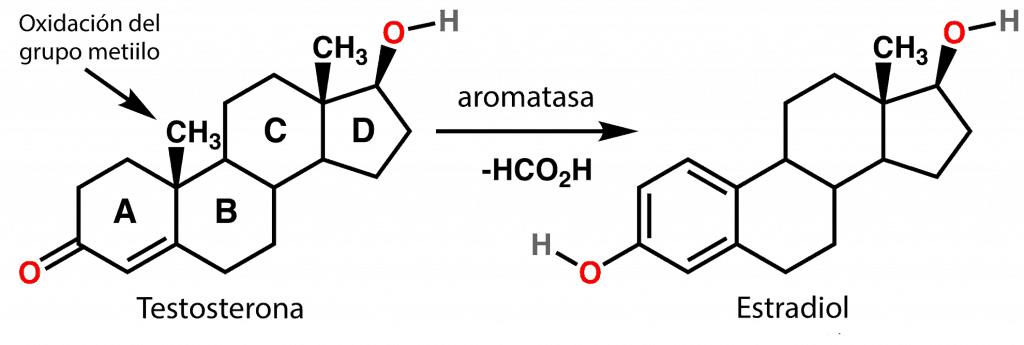 Conversión de testosterona en estradiol
