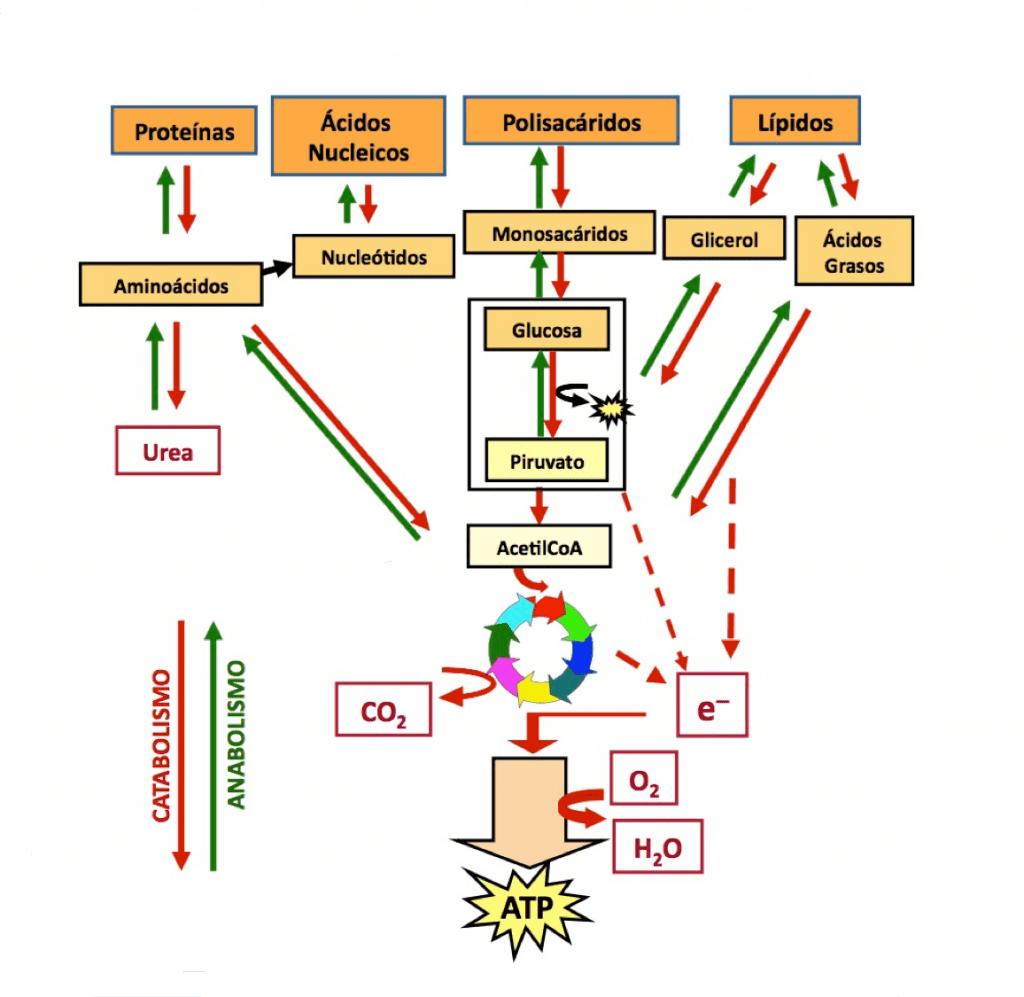 Esquema general del metabolismo