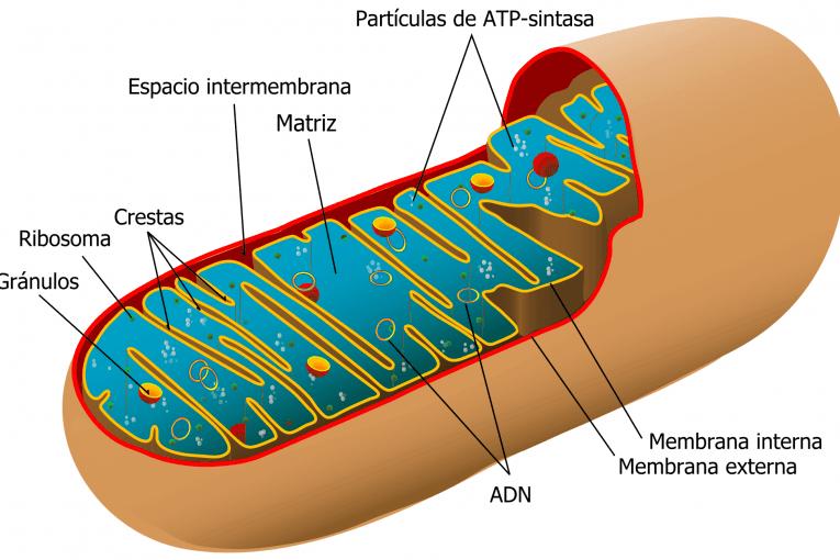 Diagrama de una mitocondria animal