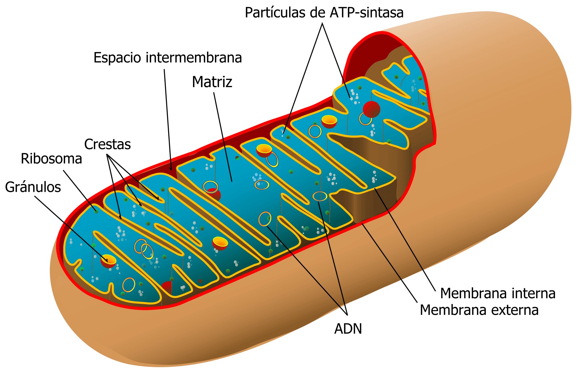 Cuáles son las funciones de las mitocondrias? – Curiosoando