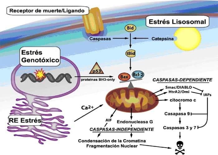 Vía intrínseca de la apoptosis