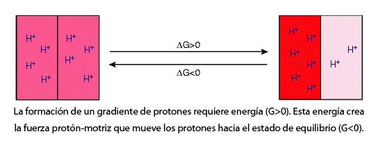 Flujo de energía en un gradiente electroquímico