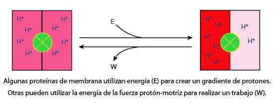 Proteínas de membrana y fuerza protón-motriz