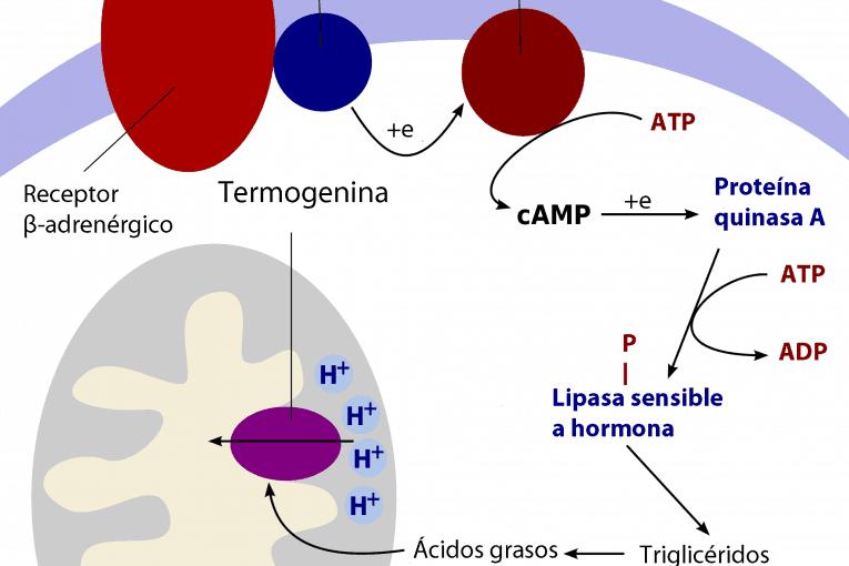 Termogénesis en los adipocitos marrones