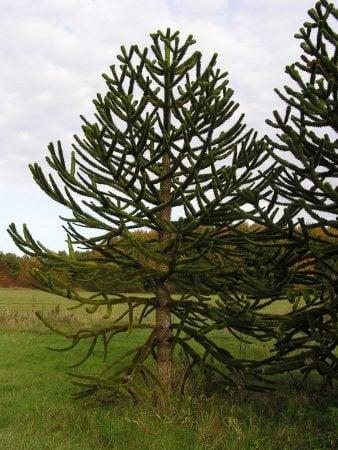 Araucaria araucana o pino chileno