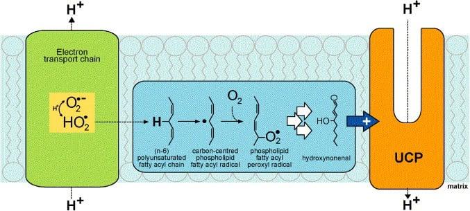 Activación de UCP2 y UCP3 por un superóxido