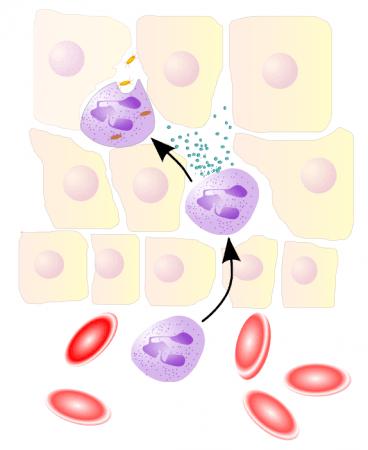 Acción fagocítica del neutrófilo