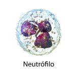 Neutrófilo - Ilustración 3D