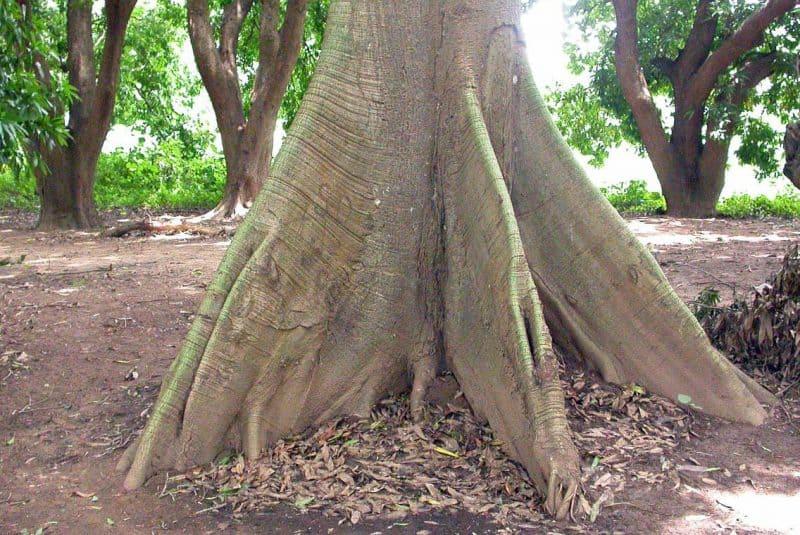 Raíces tubulares de Ceiba pentandra