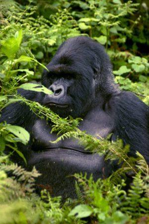 Gorilla beringei beringei (gorila de la montaña)
