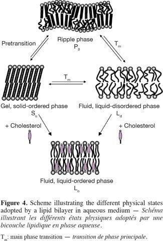 Efecto del colesterol como estabilizador de la membrana
