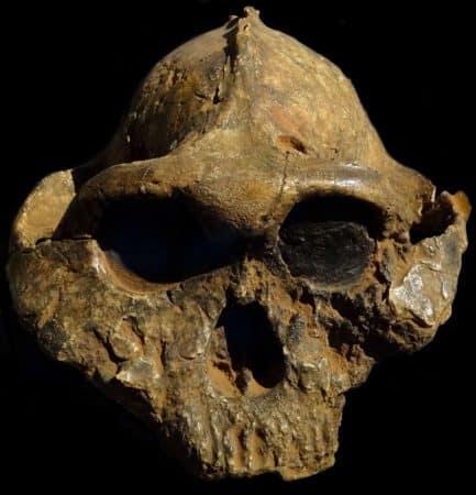 Cráneo de Pranthropus boisei