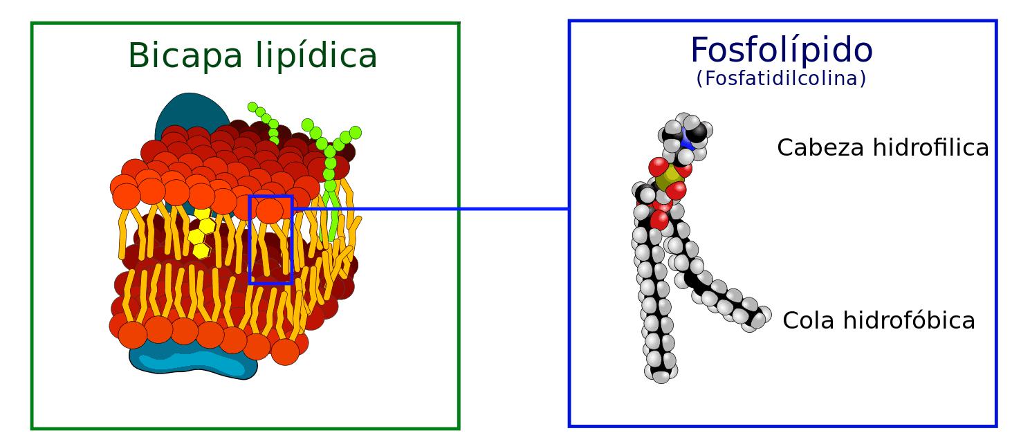 Colesterol funcion celulares las del en membranas