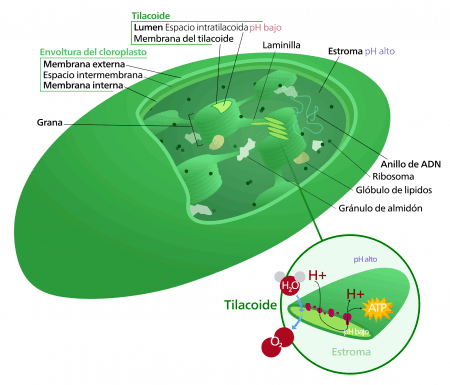 Esquema de un cloroplasto
