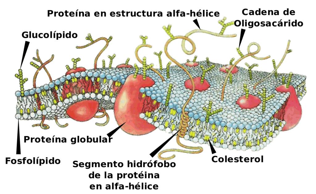 Esquema de una membrana celular