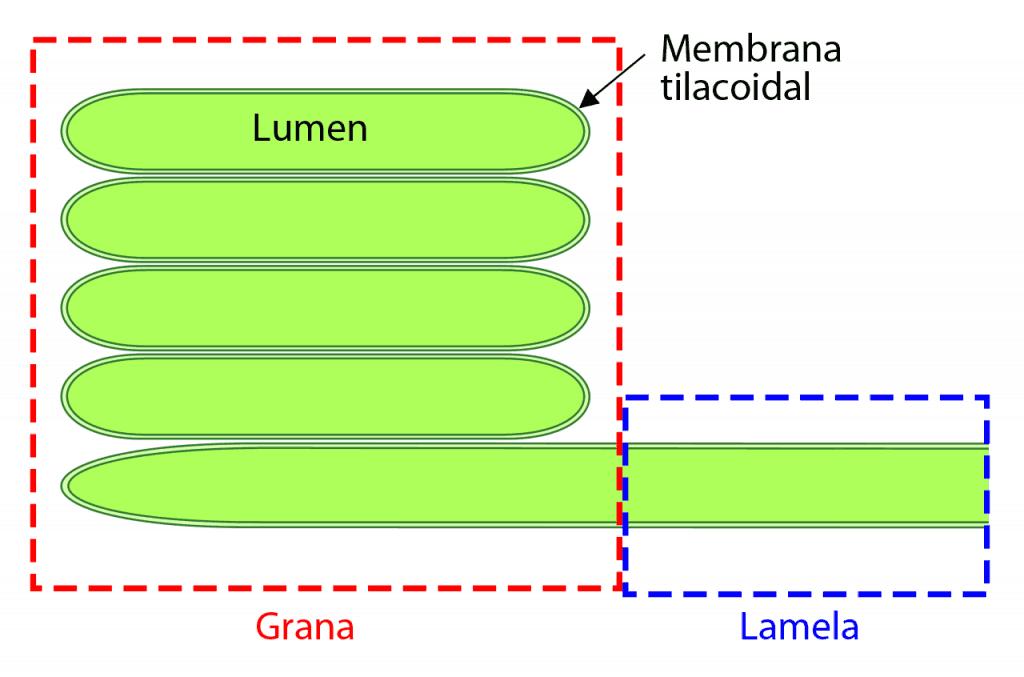 Grana y lamela