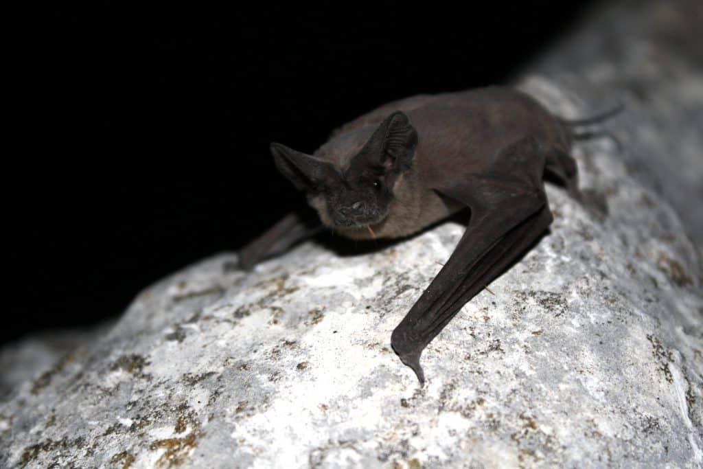 Murciélago cola de ratón parado