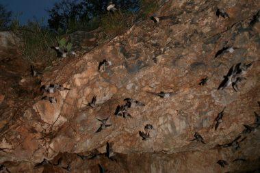 Muciérlagos cola de ratón saliendo de Davis Cave