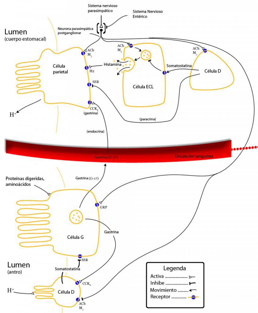 Regulación de la actividad de las células parietales