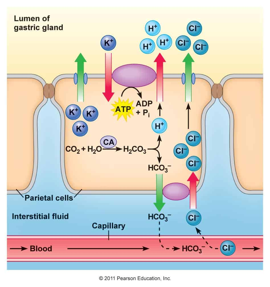 Secreción de ácido clorhídrico en la célula parietal