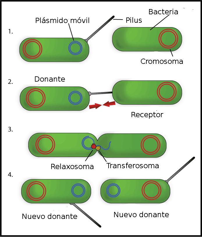 Conjugación bacteriana