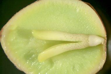 Embrión de Ginkgo biloba