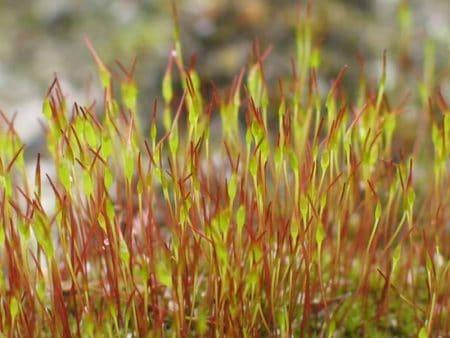 Esporófito del musgo Ceratodon purpureus