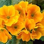 Flores de Primula hortensis