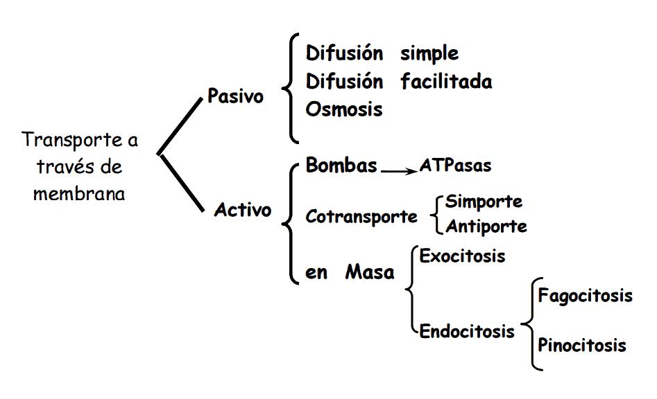 Tipos de transporte de membrana