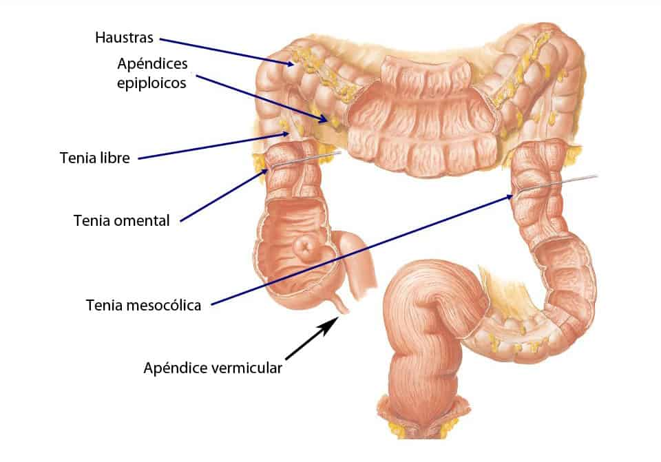 Esquema del colon