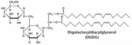 Digalactosil diacilglicerol (DGDG)