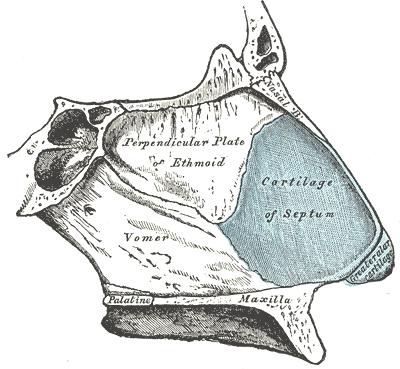 Estructura del septo nasal
