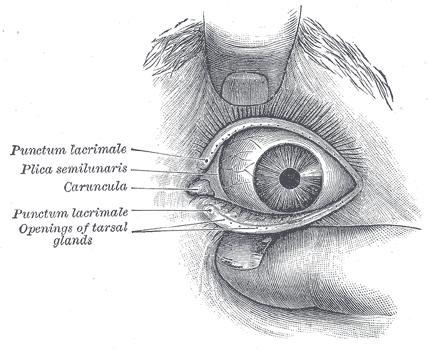 Canto interno del ojo (Gray1205)