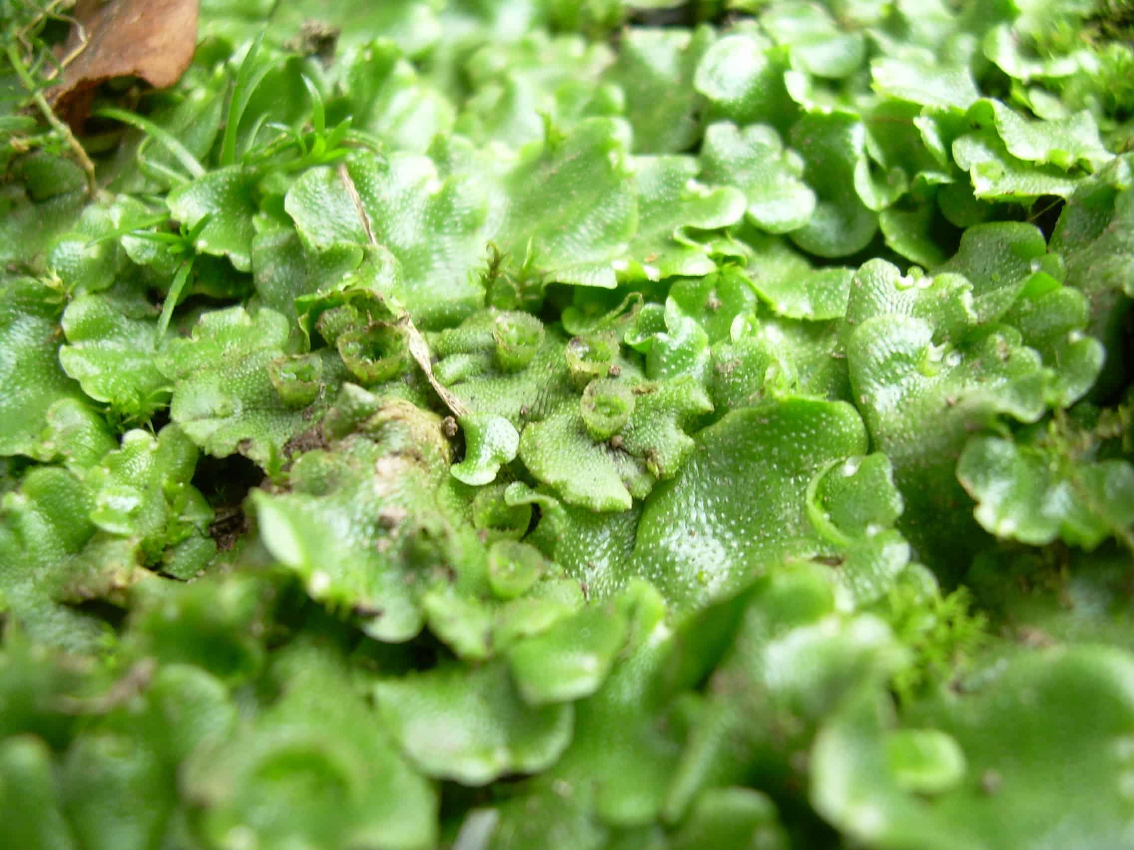 Qu son las plantas hep ticas curiosoando for Que son plantas ornamentales ejemplos
