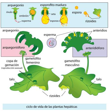 Ciclo de vida de las plantas hepáticas