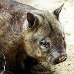 Wombat de nariz peluda del norte (Lasiorhinus krefftii)