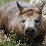 Wombat de nariz peluda del sur (Lasiorhinus latifrons)