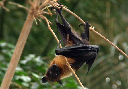 Zorro volador de la indica (Pteropus giganteus)