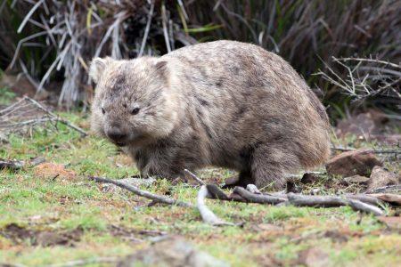 Wombat común (Vombatus ursinus)